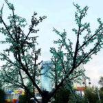 Изумрудное дерево. Тюмень